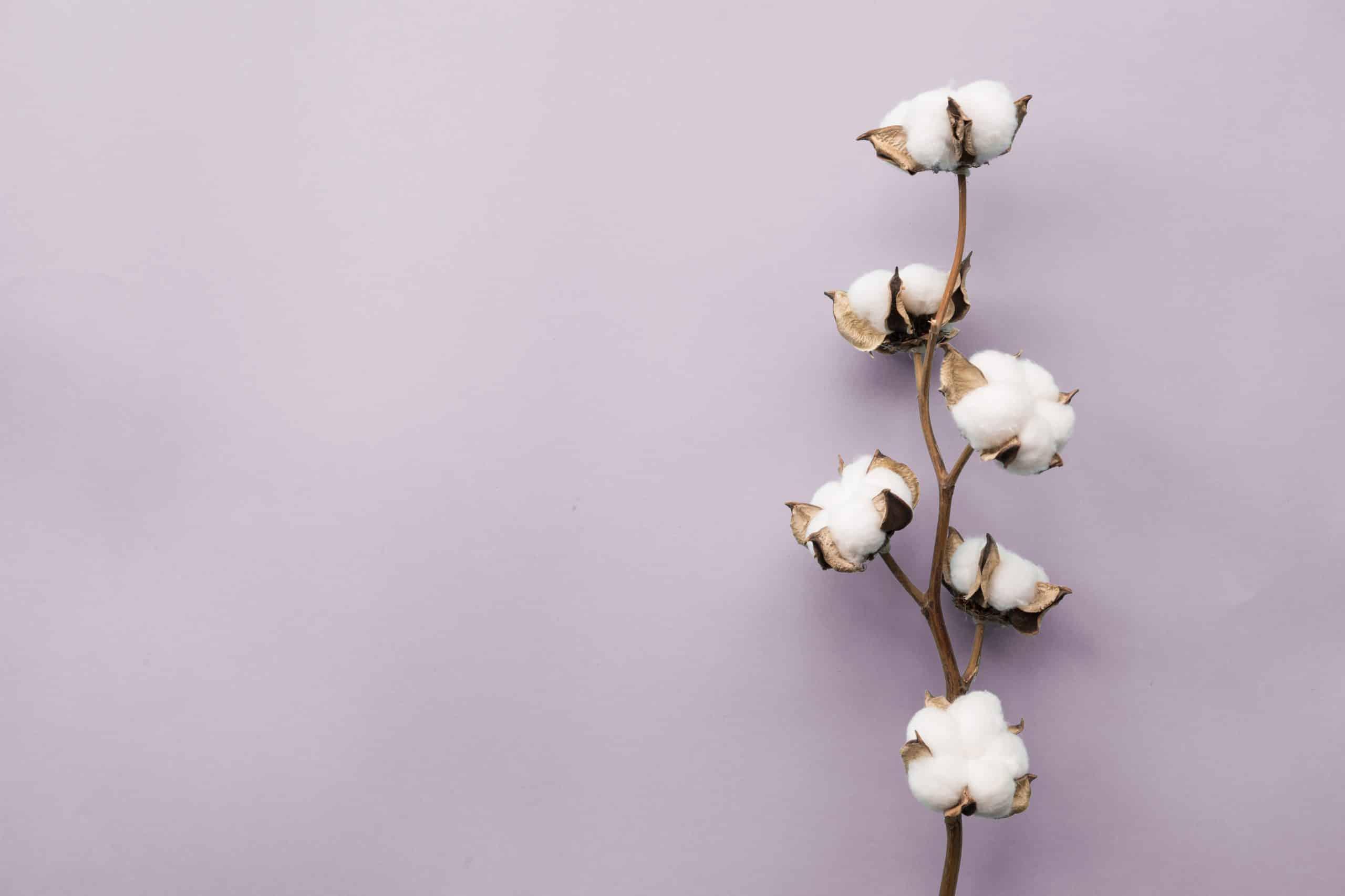 cotton-flower-lying-on-purple-background-NQLPU7B